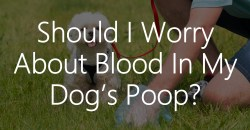 Small Of Blood In Dog Poop