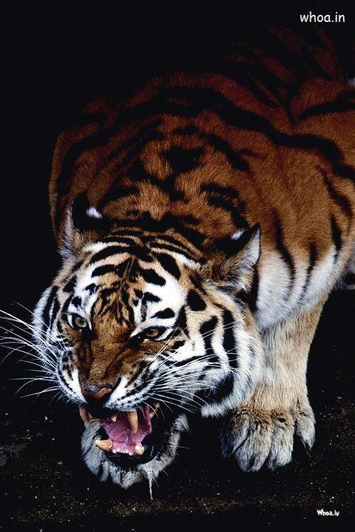 Cute Wallpapers For Friendship Day Tiger Dangerous Mouth