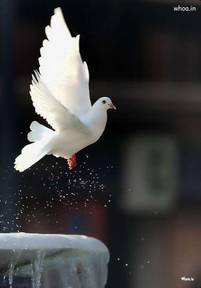 Cute Wallpapers With Quotes For Facebook Cover Flying White Pigeon Image
