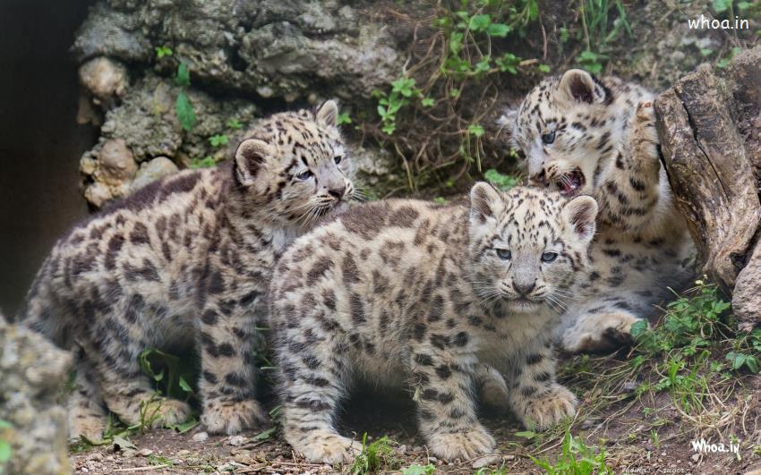 Baby Krishna Wallpaper 3d Leopard Cubs Funny Wallpaper