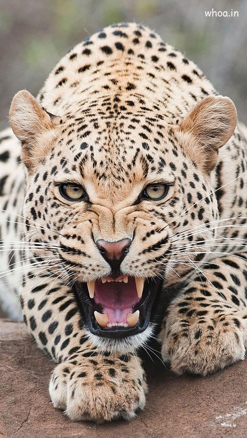 Portrait Wallpaper 3d Leopard Is Roar Hd Wallpaper