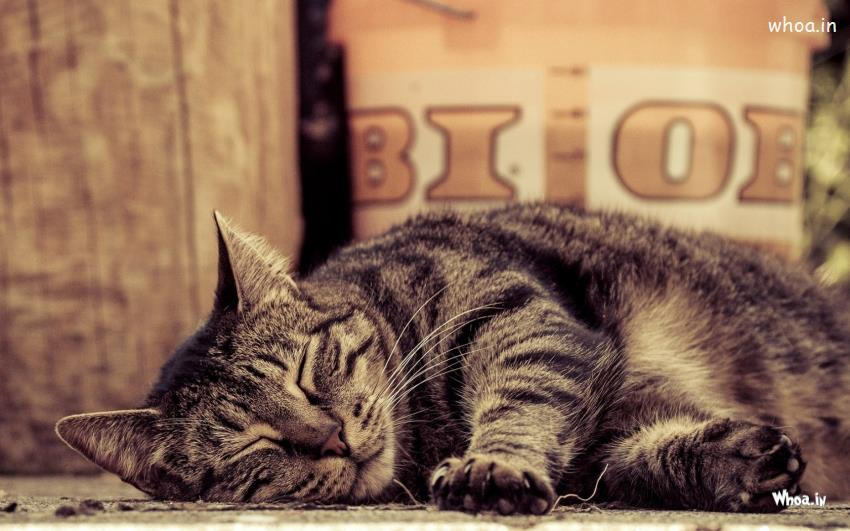 3d Bollywood Wallpaper Free Download Sleeping Cat Hd Wallpaper Free Download For Desktop Background