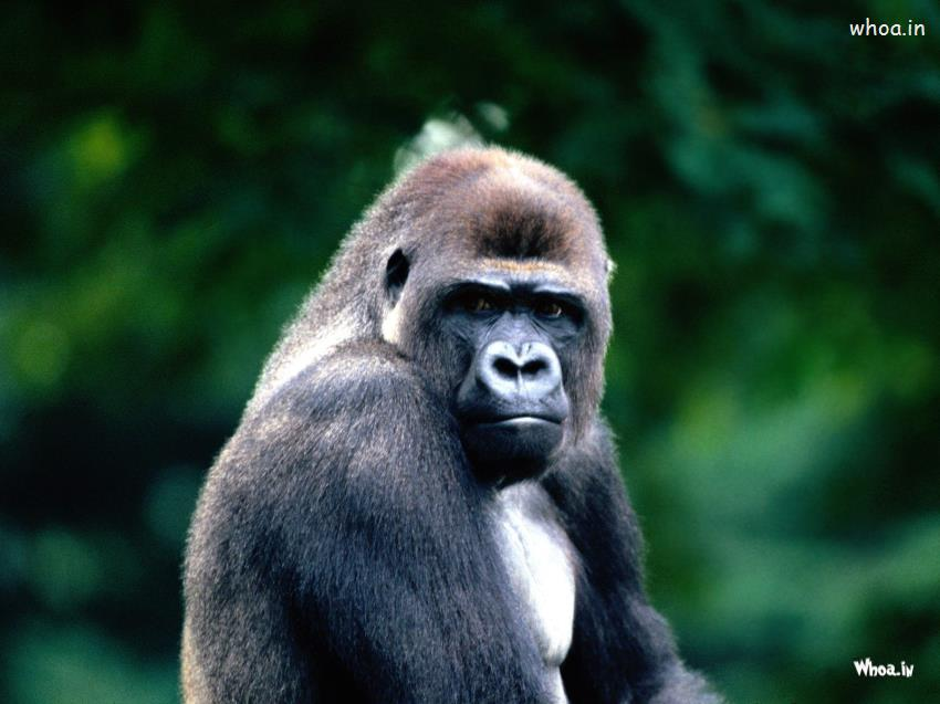 Romantic Good Morning Wallpaper With Quotes Gorilla The Largest Primate In The World