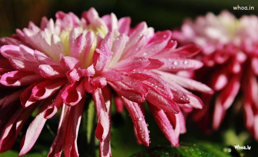 Wallpaper Jesus Christ 3d Raindrops On Pink Flower Wallpaper