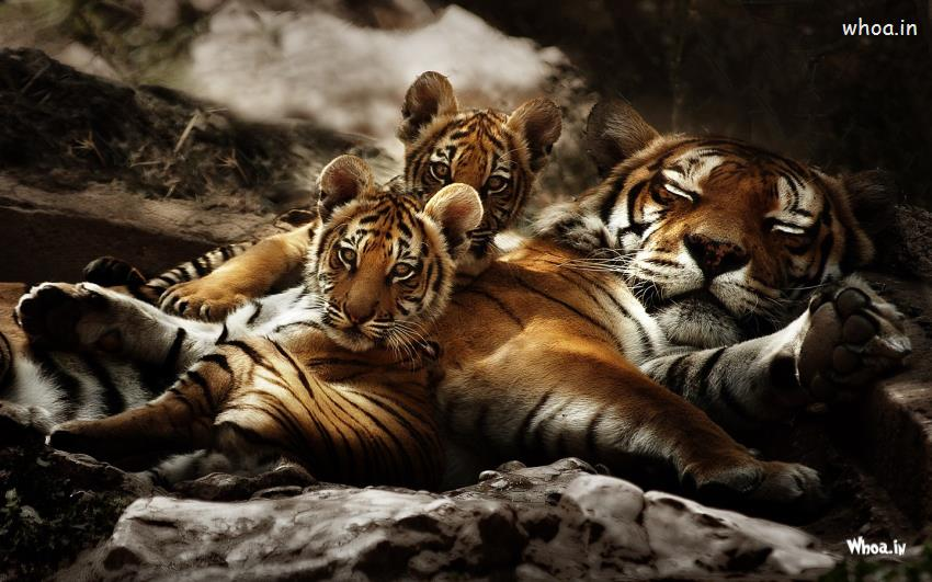 Quotes Wallpaper Application Windows Tiger Sleeping With His Cubs Desktop Wallpaper Hd
