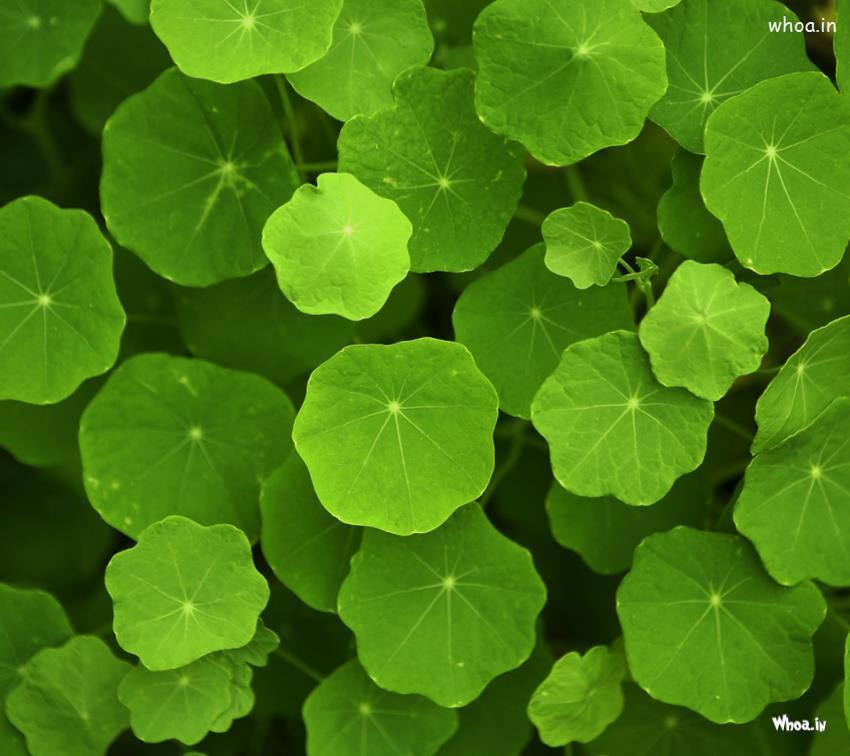Leaf Wallpaper Quote Mac Green Leaf Hd Natural Wallpaper