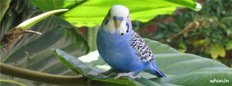 Cute Quote Wallpapers For Iphone Blue Birds Budgie Facebook Cover 1