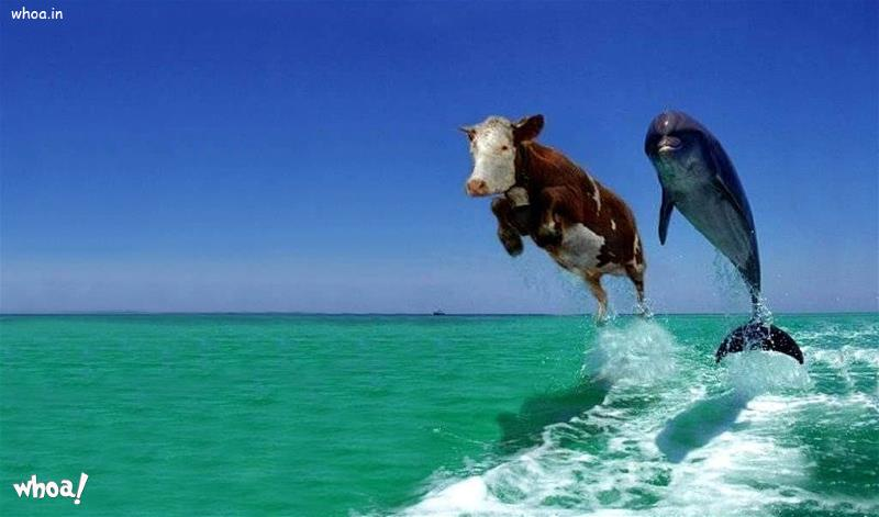 3d God Krishna Wallpaper Download Funny Cow Swim Wallpaper For Desktop