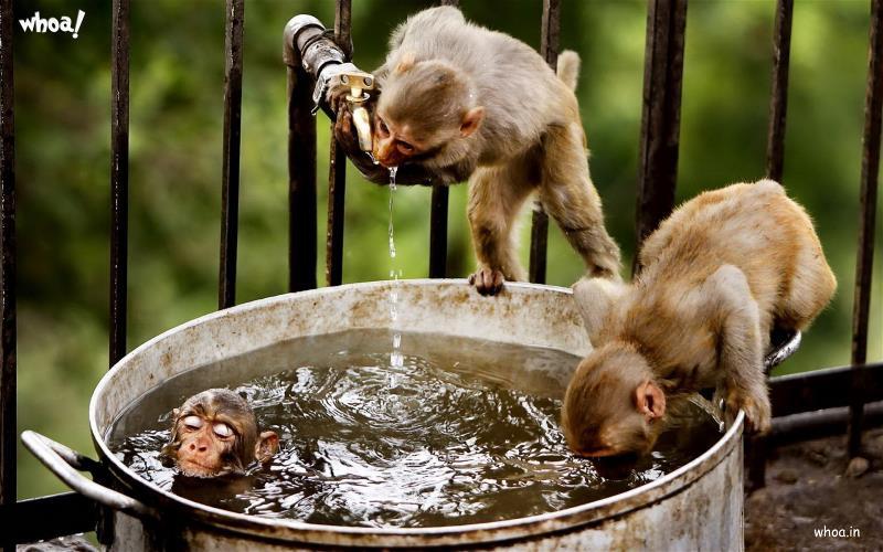 Hindu God Krishna Wallpaper 3d Funny Monkey Bath And Drinking Water