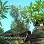 painted-djembe-6 Bali Sarong