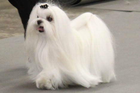 Cute Little Puppies Wallpapers Maltese Breed Information Maltese Images Maltese Dog