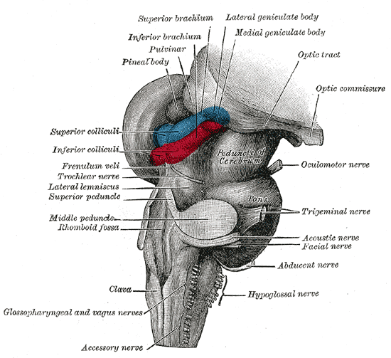 the brain stem auto electrical wiring diagramthe brain stem