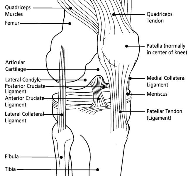 knee femur diagram