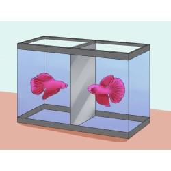 Small Crop Of Betta Fish Lifespan