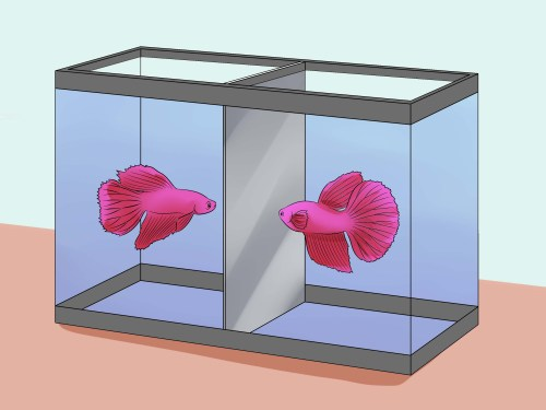 Medium Of Betta Fish Lifespan