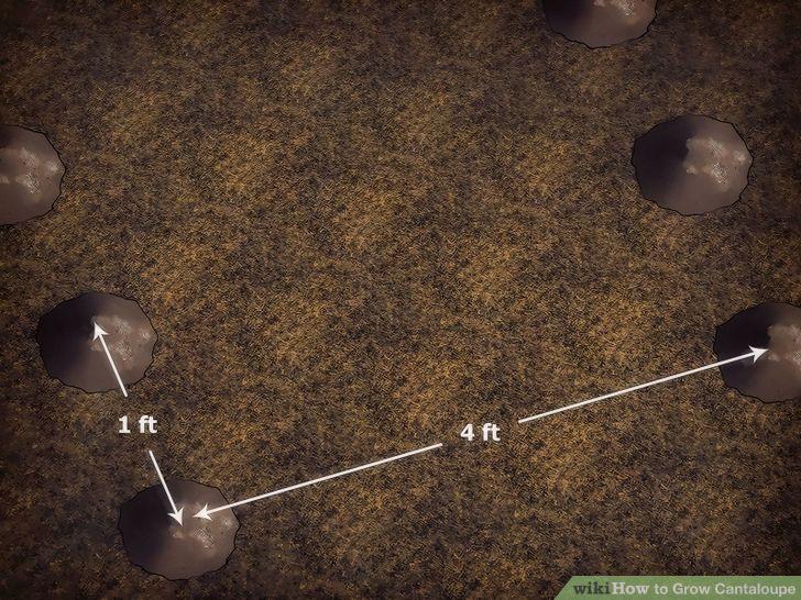 Grow Cantaloupe Step 5 Version 2.jpg