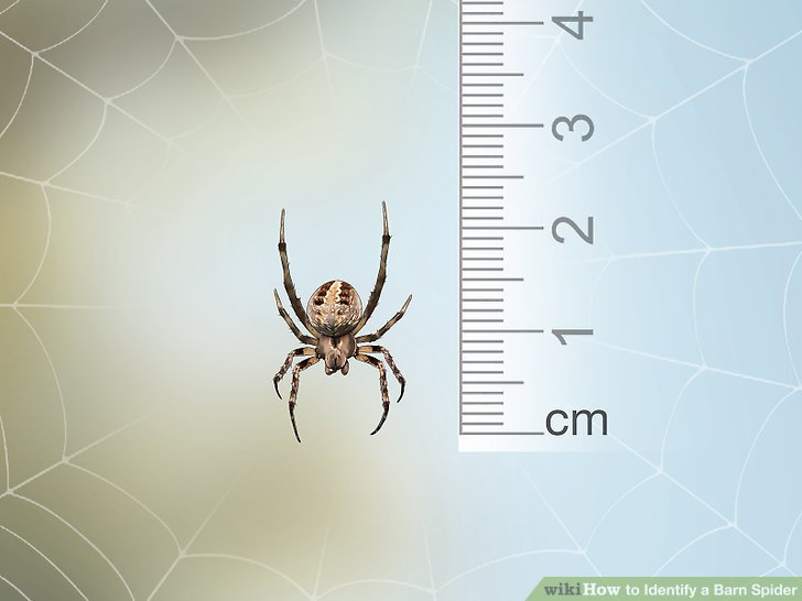3 Ways to Identify a Barn Spider - wikiHow