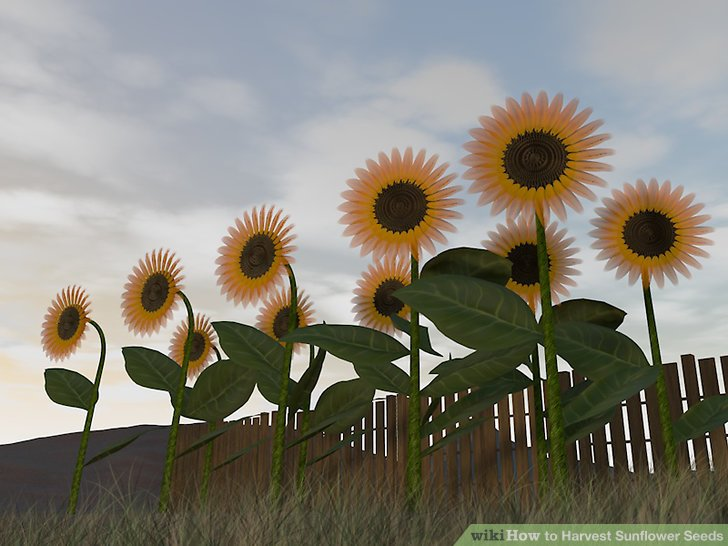 The Easiest Way to Harvest Sunflower Seeds - wikiHow