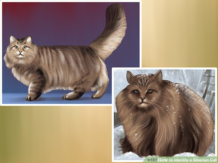 How to Identify a Siberian Cat 9 Steps (with Pictures) - wikiHow
