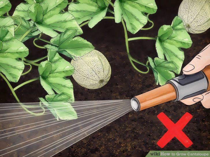 Grow Cantaloupe Step 12 Version 2.jpg