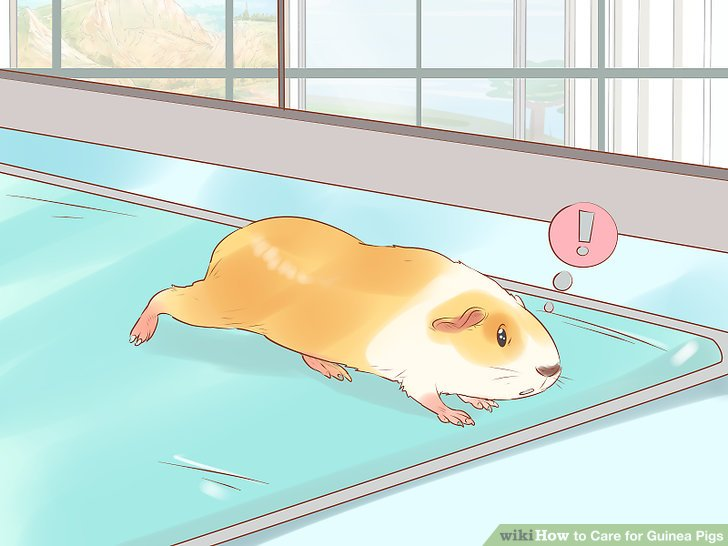 How to Care for Guinea Pigs (with Pictures) - wikiHow