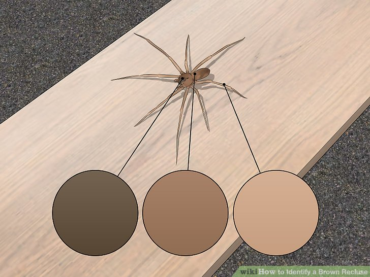 How to Identify a Brown Recluse 11 Steps (with Pictures)