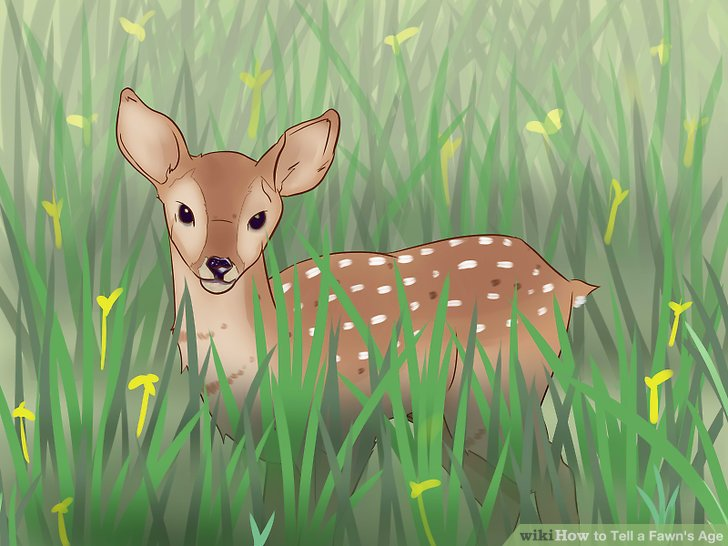 3 Ways to Tell a Fawn\u0027s Age