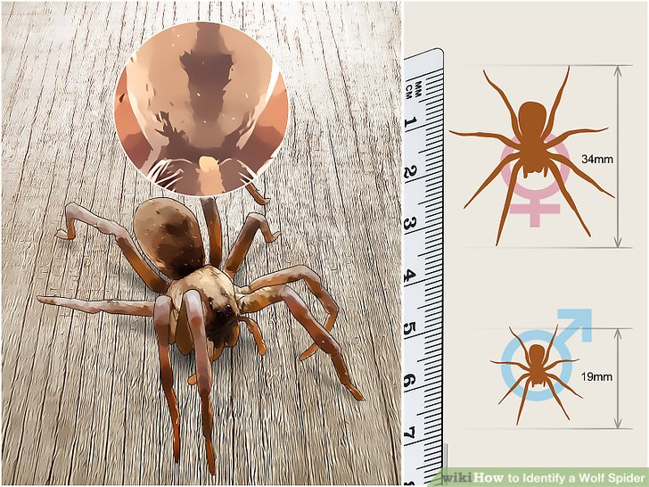 How to Identify a Wolf Spider 11 Steps (with Pictures) - wikiHow