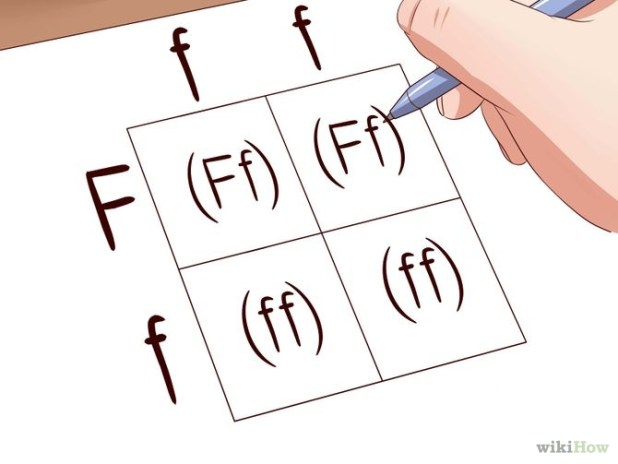 Make a Punnett Square Step 6.jpg