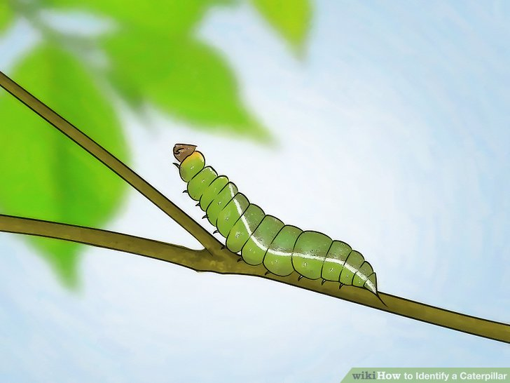 How To Identify A Caterpillar 8 Steps With Pictures