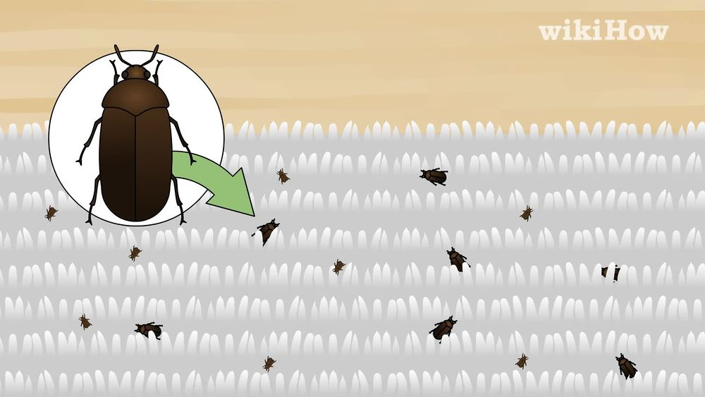 3 Ways To Get Rid Of Carpet Beetles Wikihow
