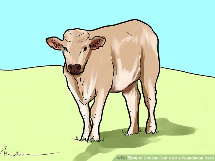 How To Choose Cattle For A Foundation Herd 7 Steps