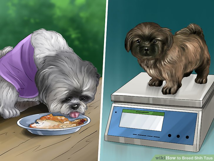 How To Breed Shih Tzus With Pictures Wikihow