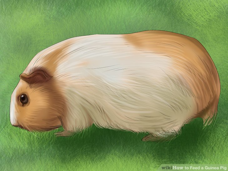How to Feed a Guinea Pig 13 Steps (with Pictures) - wikiHow