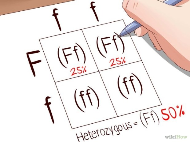 Make a Punnett Square Step 7.jpg
