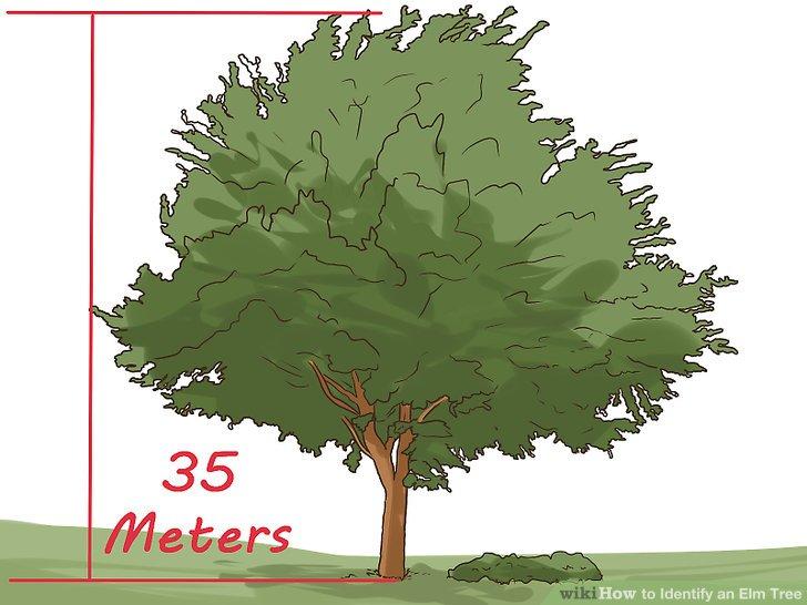 The Best Ways to Identify an Elm Tree - wikiHow
