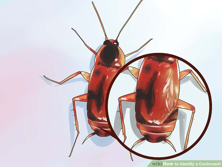 4 Ways to Identify a Cockroach - wikiHow - baby american cockroaches