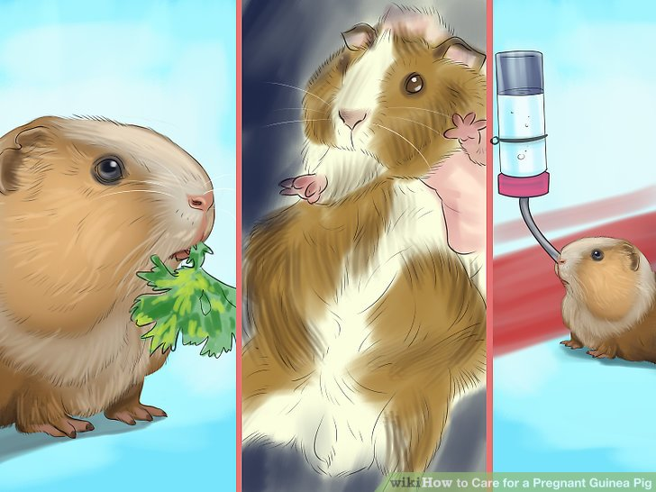 How to Care for a Pregnant Guinea Pig (with Pictures) - wikiHow