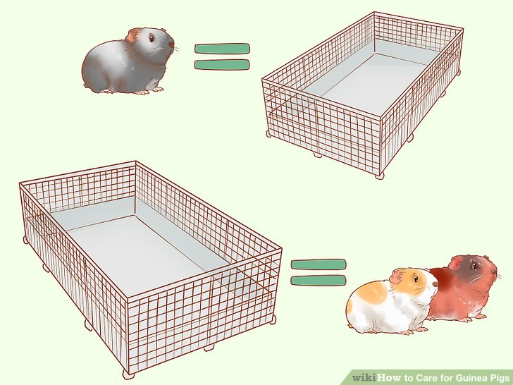 How to Care for Guinea Pigs (with Pictures)