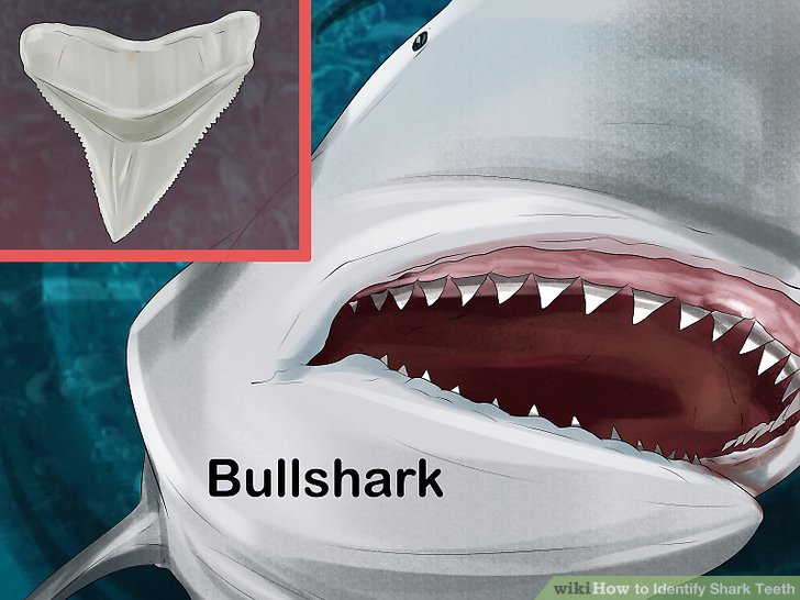 How to Identify Shark Teeth 15 Steps (with Pictures) - wikiHow