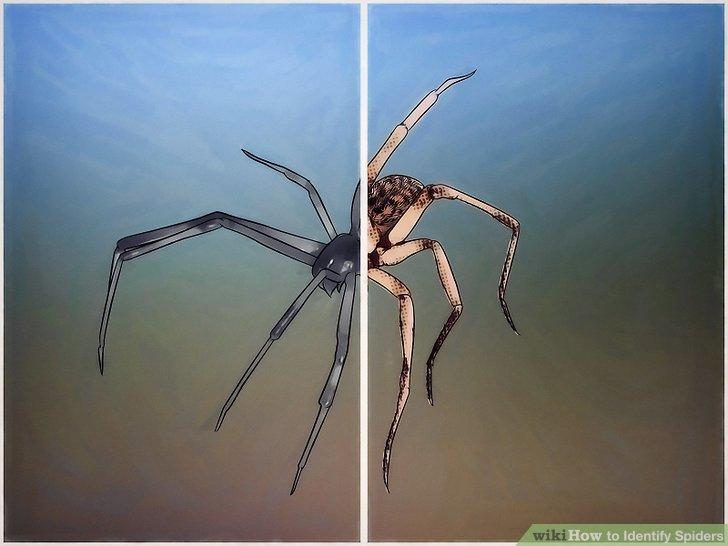 3 Ways to Identify Spiders - wikiHow