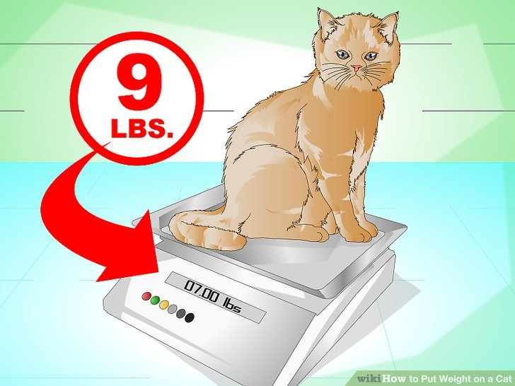 3 Ways to Put Weight on a Cat - wikiHow