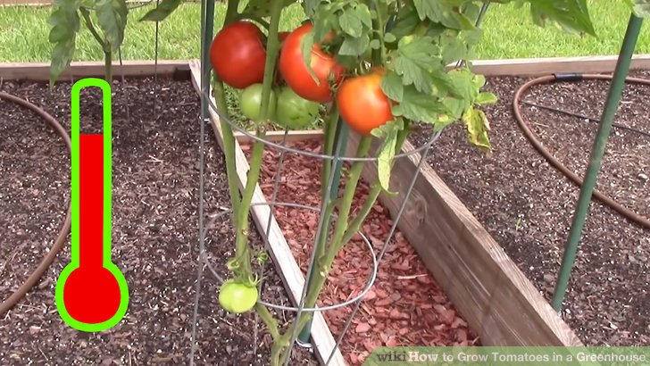 How to Grow Tomatoes in a Greenhouse (with Pictures) - wikiHow