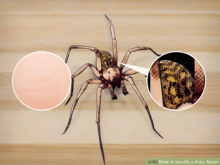 How to Identify a Hobo Spider 10 Steps (with Pictures) - wikiHow