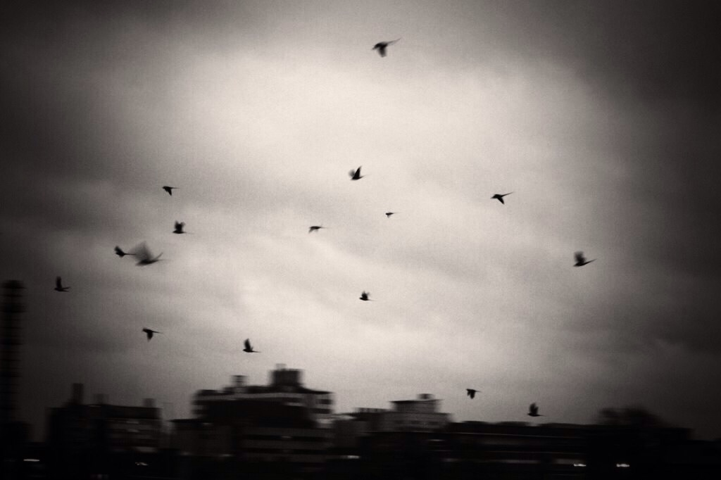 Parakeets flying on to roost 3