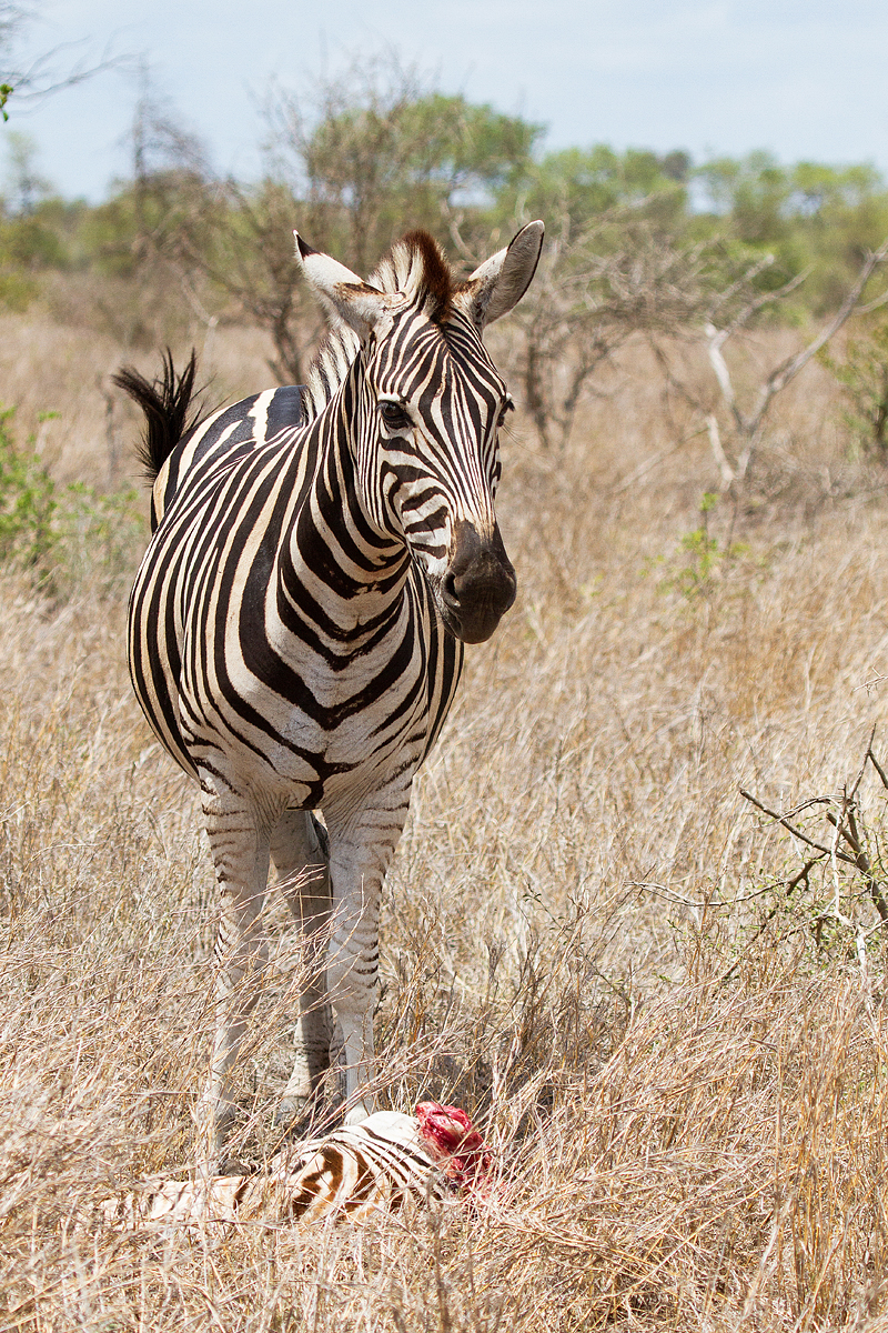 Large Of Pictures Of Zebras