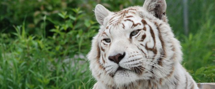 Bengal Cat Hd Wallpaper The Truth About White Tigers The Wildcat Sanctuary
