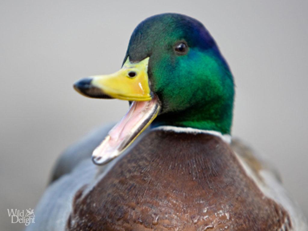 Cute Ducks In Water Wallpaper Mallard Duck Wild Delightwild Delight