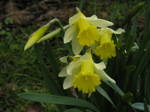 How to grow Wild Daffodil from Bulbs
