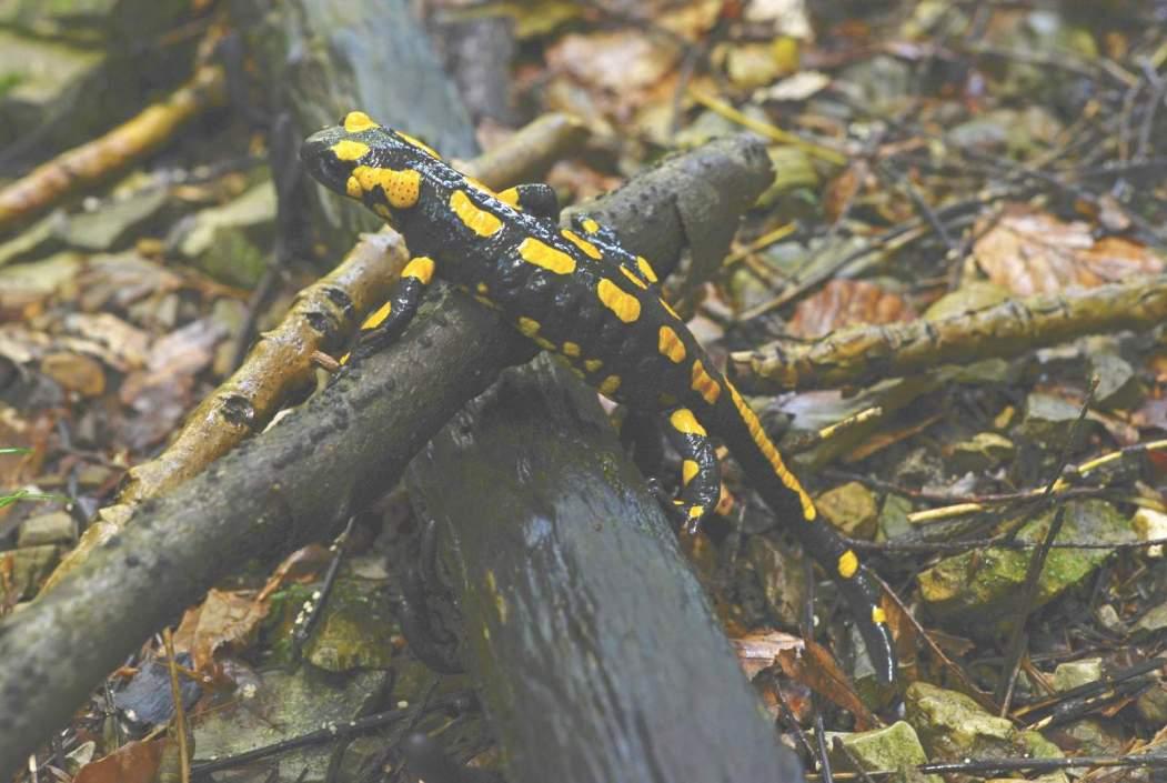 Feuersalamander © W. Schruf/Piclease